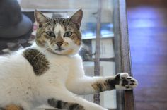 6 toed cat @B House in Key West