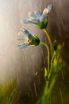 I love blue flowers - rainy day ✿⊱╮♥