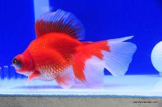 Dandy Orandas Butterflies | Update | *Goldfish | Pinterest