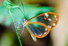 The Transparent Butterfly originates in Central America and it's habitat is found from Mexico to Panama. It is quite common in its zone, however is not easy to find because of its transparent wings, which are a natural camouflage mechanism.