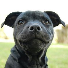 Tell us this pit bull puppy's face isn't the best thing you've seen all week.