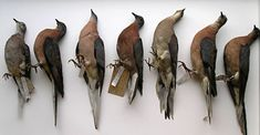 Passenger Pigeon (Ectopistes migratorius) - Study Skins. Extinct Circa 1914.