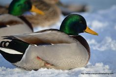 This photo of a chilly mallard was taken at Icehouse Park in Conneaut Lake, Pa. Conneaut Lake is the largest natural glacier lake in Pennsylvania.