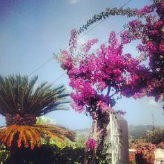 Palm and buganvillea in Villa Rica ( Patti-Sicily)