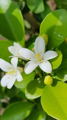 Flores de mirto mi jardín=vida