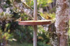 Pássaros alimentando-se em Condomínio fechado Parc de France em Joinville, SC - Brasil.
