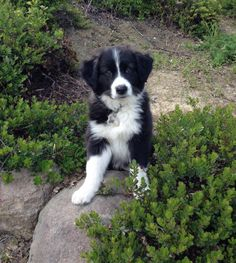 Blaire English Shepherd Puppy For Sale In Pennsylvania Things I