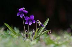 野に咲く菫のように