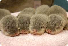 OMG Otter Babies!!!!! I think my brain froze up from all the cuteness.