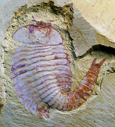 The oldest brain ever found in an arthropod