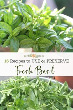 15 Recipes to Use and Preserve Fresh Basil If you have a lot of basil to contend with. Here are some fresh basil recipes that go beyond the norm and help the fresh basil flavor last all year. Fresh Basil Recipes, Herb Recipes, Vegan Recipes, Recipes With Fresh Herbs, Canning Recipes, Vegetable Recipes, Delicious Recipes, Dinner Recipes, Preserving Basil