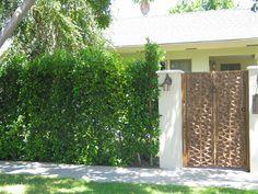 Privacy hedge: Ficus nitida - (Indian Laurel Fig), Los Angeles, CA.