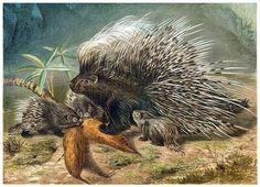 Old World Porcupine | Old Book Illustrations