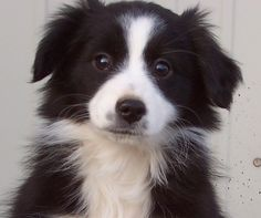 This is Shelby, our sweet miniature Australian shepherd, when she was a puppy.
