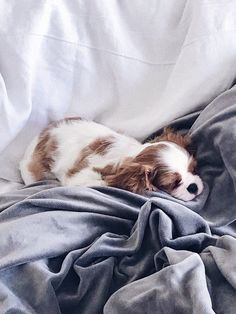 Things we all enjoy about the Smart Cavalier King Charles Spaniel Puppies Cavalier King Charles Blenheim, King Charles Puppy, Cavalier King Charles Spaniel Puppy, Puppies And Kitties, Little Puppies, Cute Puppies, Doggies, Cockerspaniel, Spaniel Puppies