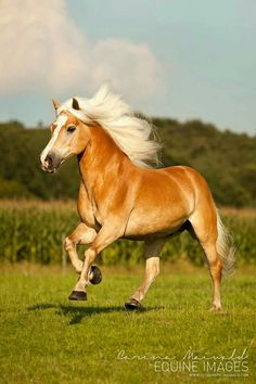 Lovely Haflinger Sir Henrey Un poney comme ça je veux ! All The Pretty Horses, Beautiful Horses, Animals Beautiful, Beautiful Beautiful, Cute Horses, Horse Love, Animals And Pets, Cute Animals, Haflinger Horse