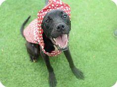 PAXX - URGENT - Fulton County Animal Services, Atlanta, GA - ADOPT OR FOSTER - Adult Neutered Male Labrador Retriever Mix