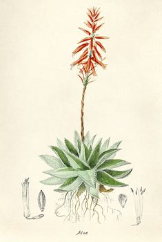 Antique illustration of Aloe | free image by rawpixel.com Antique Illustration, Botanical Illustration, Watercolor Plants, Calf Tattoo, Nature Artwork, Rare Flowers, Wild Flowers, Free Illustrations, Antique Art