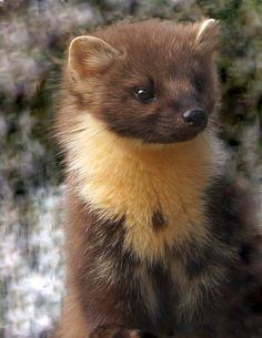 Pine Marten (by jefflack Wildlife&Nature)