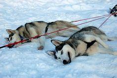 Huskies after dog sledding, Arvidsjaur, Sweden
