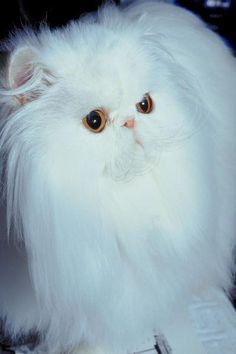 Allergy Symptoms to Long-Haired Cats - Pets