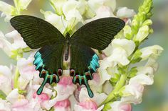 Asian Swallowtail Butterfly, Papilio hermeli