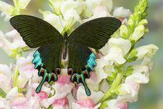 Asian Swallowtail Butterfly, Papilio hermeli