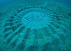"""These underwater """"crop circles"""" were until recently a complete mystery. Japanese underwater photographer Yoji Ookata discovered the intricate 6 foot wide circles on the seafloor off Amami Oshima island in Japan. the artist behind the circles—a small species of pufferfish. Males of the species create the circles with their fins in order to attract females. They mate in the center and the circle helps keep the eggs from drifting away."""