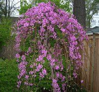 The American Redbud Tree is one of the most beautiful ornamental trees. The Forest Pansy Redbud and the Lavender Twist Weeping Redbud tree are a must have even in small gardens. Garden Landscape Design, Garden Landscaping, Landscaping Ideas, Trees And Shrubs, Flowering Trees, Weeping Trees, Pink Garden, Dream Garden, Garden Projects