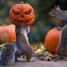 Squirrel stealing pumpkin