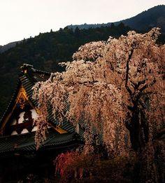久遠寺 祖師堂前しだれ桜
