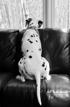 Pinterest-PilyAngulo Toy Manchester Terrier, Animals And Pets, Cute Animals, Toy Bulldog, Dalmatian Dogs, Hindsight, Dog Rules, 101 Dalmatians, Funny Dog Pictures