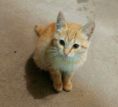 Stray Ginger Kitten Adopts Unsuspecting Human Who Quickly Falls In Love With Her Kittens Cutest, Cats And Kittens, Tabby Cats, Cats Cast, Ginger Kitten, Cats For Sale, Letting Go Of Him, Orange Cats, Entertainment