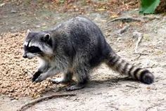 Image result for raccoon