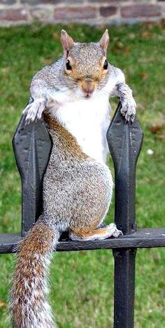 This is the male squirrel excersizing it's flirtatious capabilites by utilizing it's  seductive hip maneuver.
