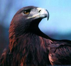 ^Eagle