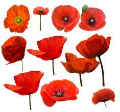 Poppy Flower Painting, Poppy Drawing, Flower Art, Watercolor Poppies, Red Poppies, Watercolor Paintings, Poppies Painting, Poppies Art, Poppy Flowers