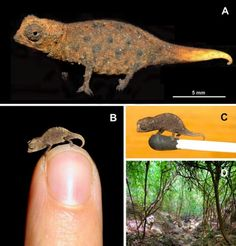 Researchers have recently discovered four new chameleon species in Madagascar, which rank among the world's tiniest reptiles. Adults of the smallest species are just over an inch from snout to tail.