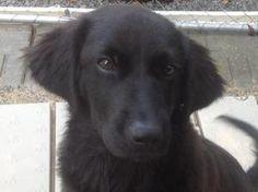 10 Best Golden Retrievers And Black Labs Images Dogs Golden Ret