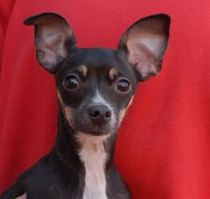 Rhett is a bashful baby boy seeking his place in this chaotic world.  He is a super cute Chihuahua puppy, 8 months of age and neutered, debuting for adoption today at Nevada SPCA (www.nevadaspca.org).  He likes other sweet dogs and may adjust best in a home with a big sister or brother dog for guidance.  Rhett was at another shelter that asked for our help due to his timidity.