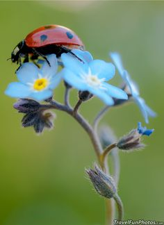 Ladybug on Pretty Blue Forget-Me-Not Flower - Broxbourne, England