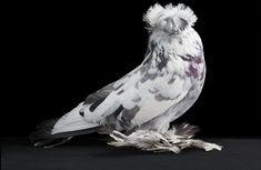 домашний голубь Автор фото: Tobias Kresse