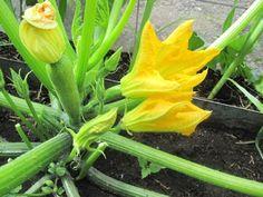 courgette/zucchini flowers / fleurs de courgette