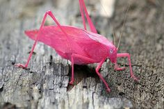 By Megaphoto. A Katydid. Commonly green, its pink colour is the result of a genetic mutation known as erythrism, similar to the recessive gene that afflicts albino animals.