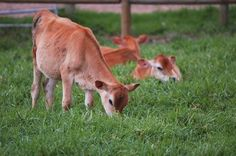 How to Raise Jersey Cows