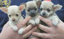 Chihuahua Breeders Bay Area Free Puppy