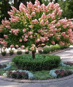 Pink velour crape myrtle at brighter blooms nursery gardening pink diamond hydrangea tree ile ilgili grsel sonucu mightylinksfo