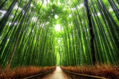 京都嵐山 竹林 Bamboo walkway.