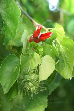 0048 Aschenbrödels Nüsse | Cinderella's nuts #klammerpic #rot #clothespin #red #ontour