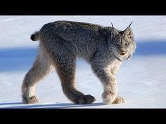 ▶ CANADIAN LYNX - Amazing Animal Species - YouTube